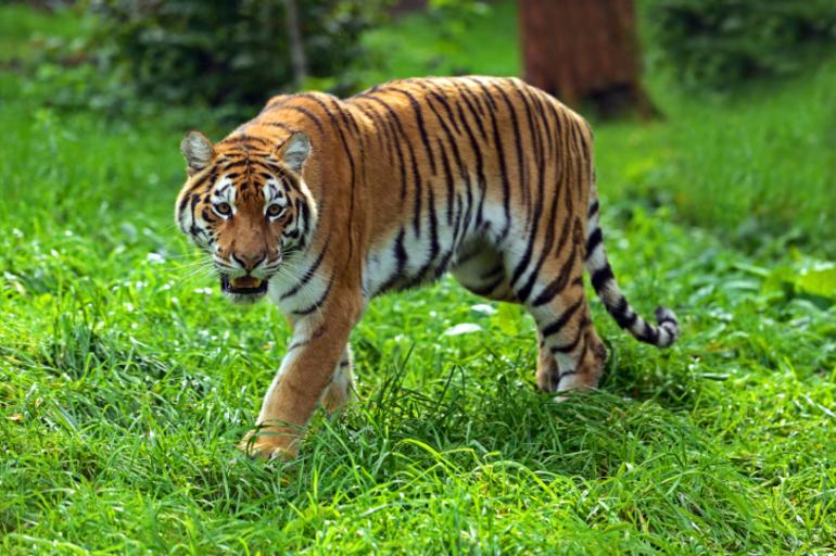 Среда обитания тигра в природе