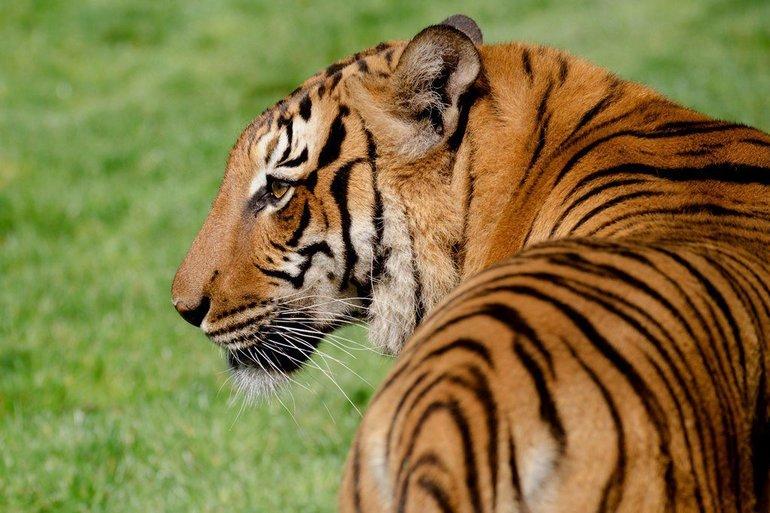 Малайский тигр