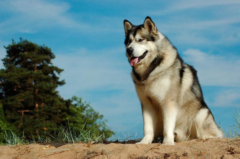 Породы собак маламут