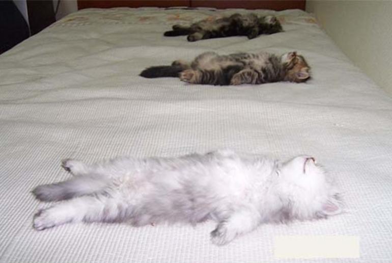Максимальная расслабленность у котят