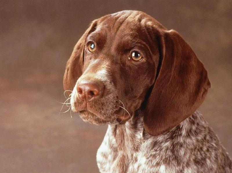 Порода собак Курцхаар - описание, характер, характеристика, фото Курцхаар и видео, цена немецкого пойнтера