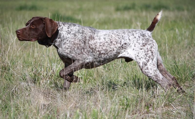 курцхаар фото собаки