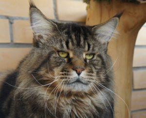 Порода котов енотов