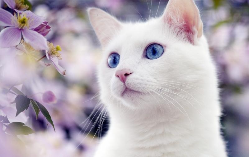 Породы белых кошек (55 фото): шотландская вислоухая, русская, с ...