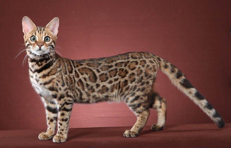 кошки бельгийской породы фото