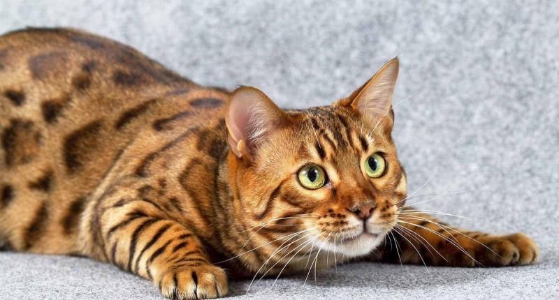 кот бельгийский