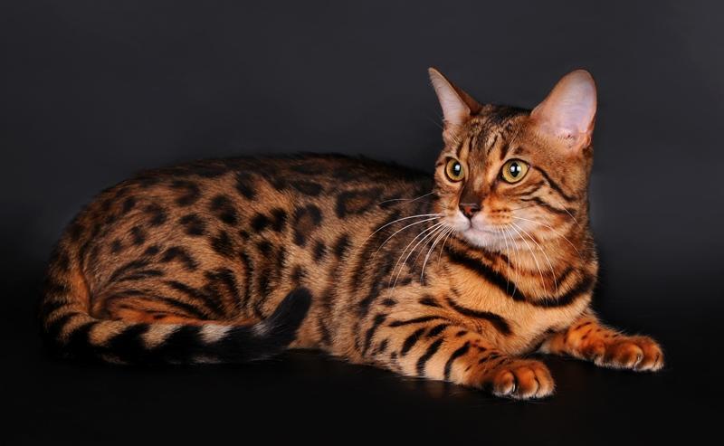 бельгийский котенок фото