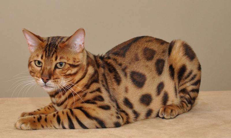 кот бельгийской породы