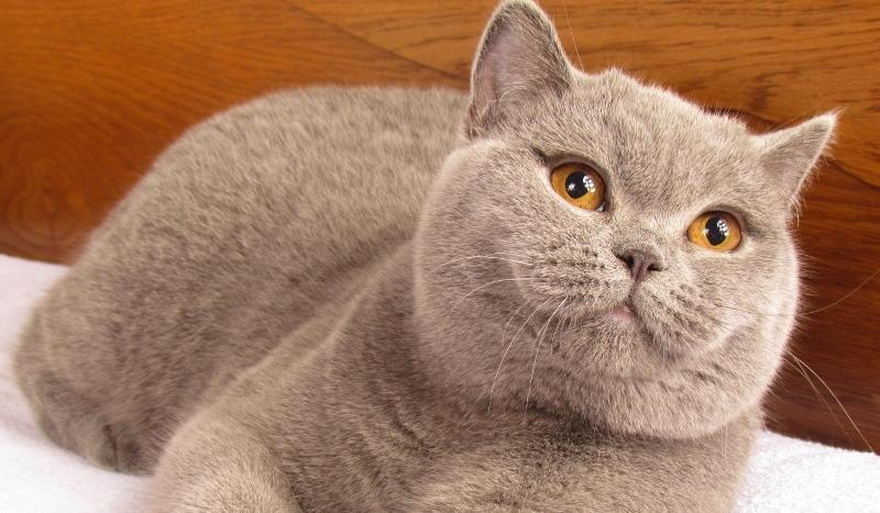 Коты британцы