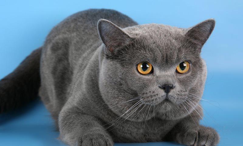 порода кота британец фото