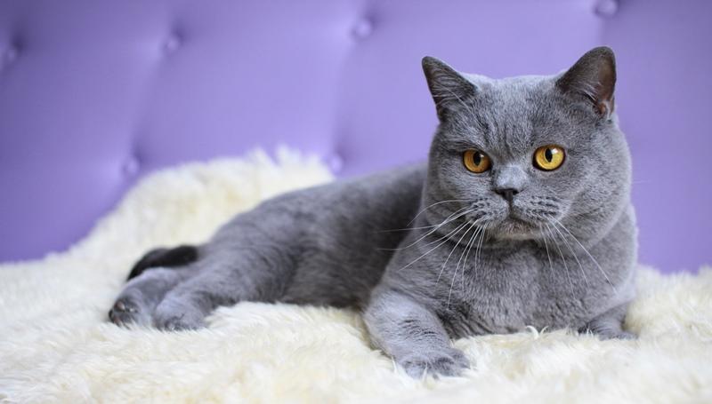 Картинка британца кота