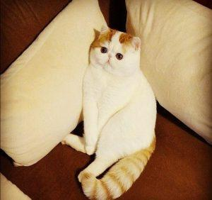 Снупи кот экзот