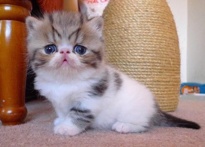 кошки порода экзот фото