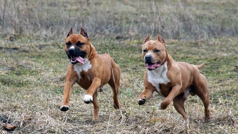 Виды и воспитание бойцовских собак