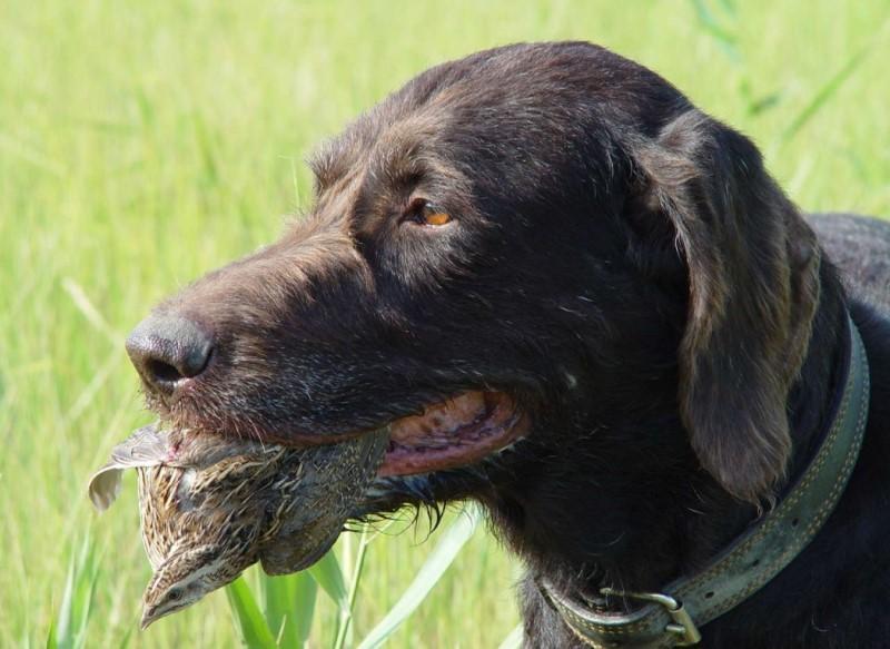 Немецкий дратхаар (55 фото): описание и характеристика породы собак, размеры, питание, сколько стоит