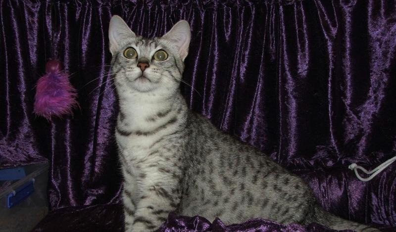 Египетская мау кошка из древности