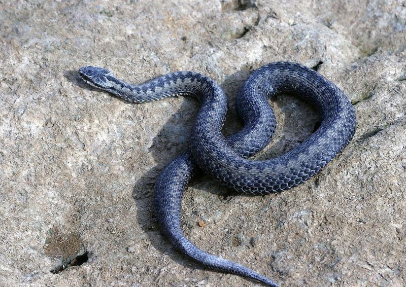 фото как выглядит змея гадюка