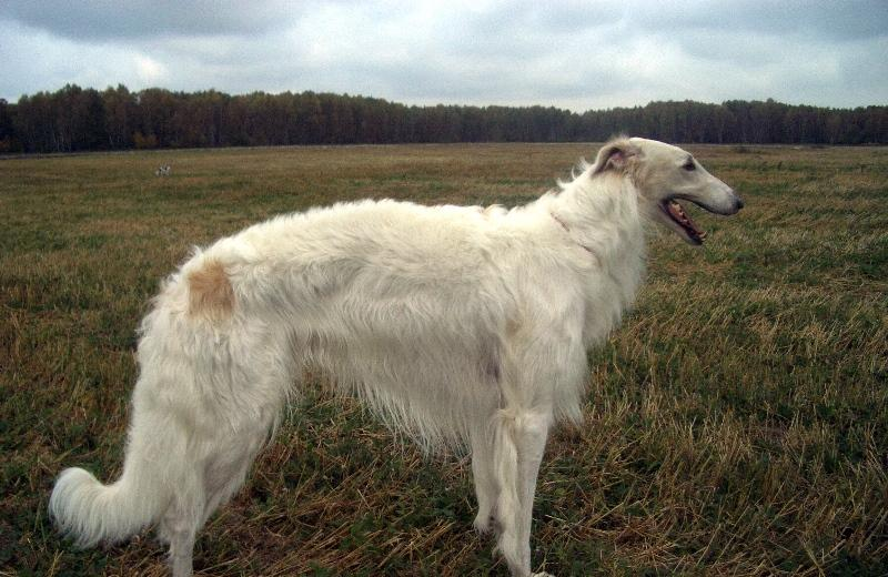 гончая порода собак фото
