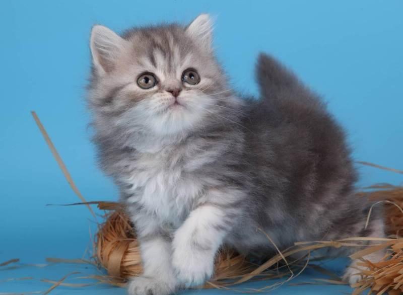Котята хайленды фото