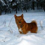 Карельская лайка (55 фото): карликовая финская собака карело, рыжий щенок шпица, карелофинская, карелка