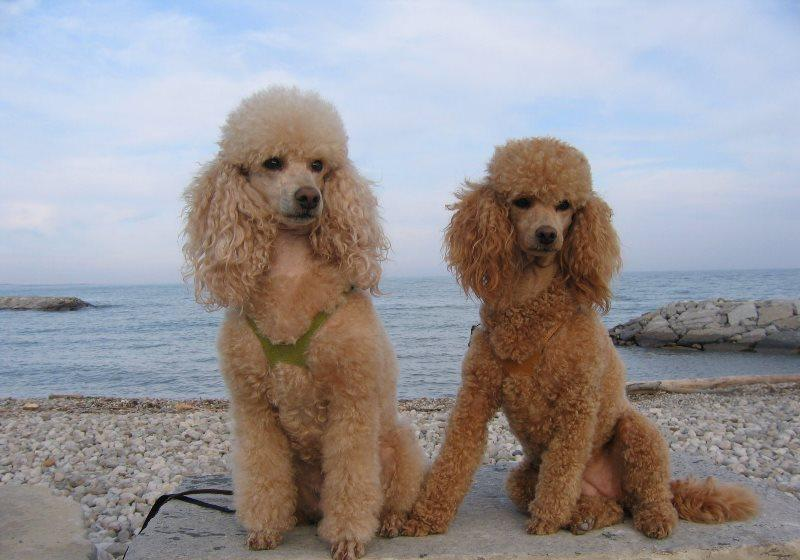Порода собак карликовый пудель (50 фото): абрикосовый, серый, черный, белый, какая стрижка