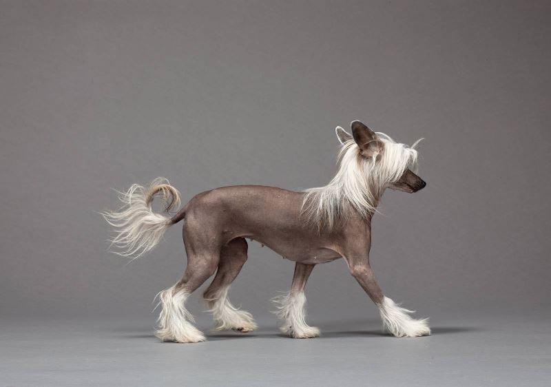 Собачка китайская хохлатая