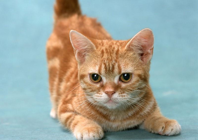 Кот на маленьких лапках порода