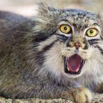 Кот манул (55 фото): как выглядит, степной, сибирский, дикий, палласов, пещерный, забайкальский, размеры и вес животного