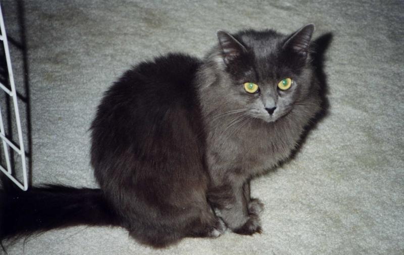 Кошка нибелунг: особенности породы и рекомендации по уходу — 4 Лапки