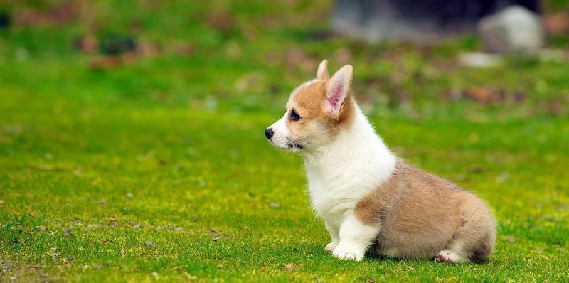 маленькие собачки с гладкой шерстью