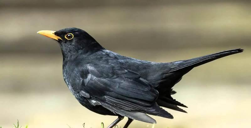 Птицы чёрного цвета