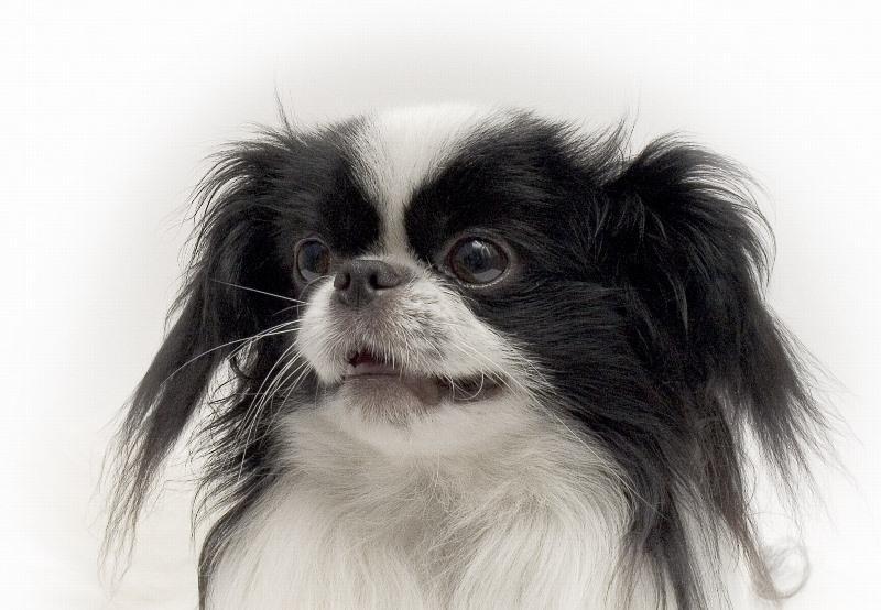 порода собак китайский хин