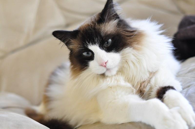 редголлы коты