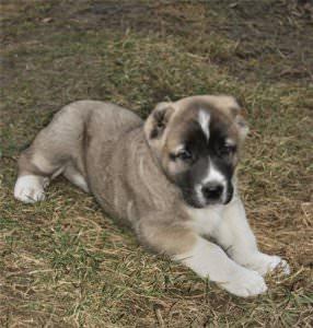 картинки собак породы алабай