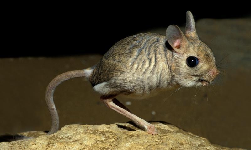 Большой тушканчик (55 фото): как выглядит степной и домашний, мохноногий и длинноухий прыгун, где живут животные пустыни