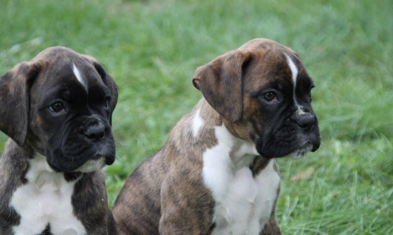 Боксер - порода собак - описание и фото