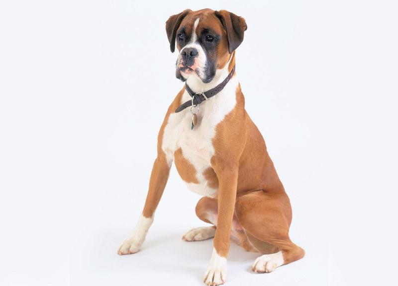боксер фото пес