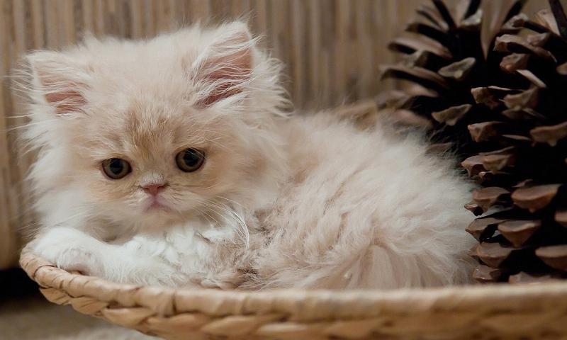 Как назвать кошку шотландскую вислоухую