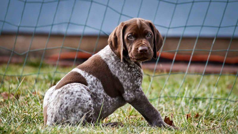 курцхаар щенки собака фото
