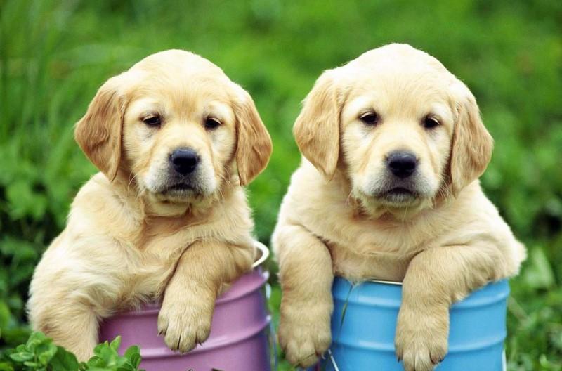 собаки порода лабрадор