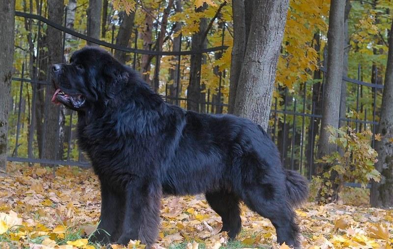 Порода собак ньюфаундленд (55 фото): описание, какой белый, видео
