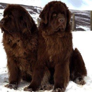 породы собак ньюфаундленд