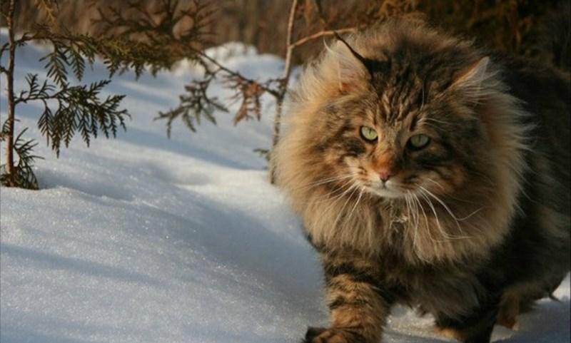 британский лесной кот