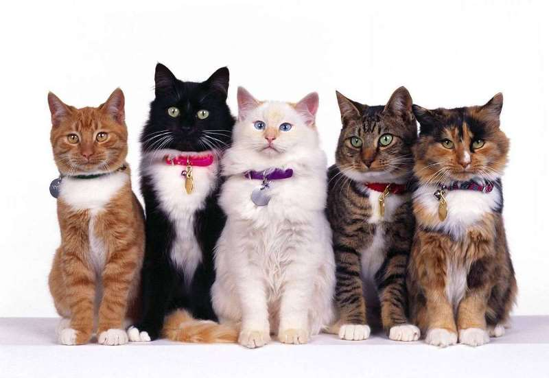 Противоблошиный ошейник для кошки