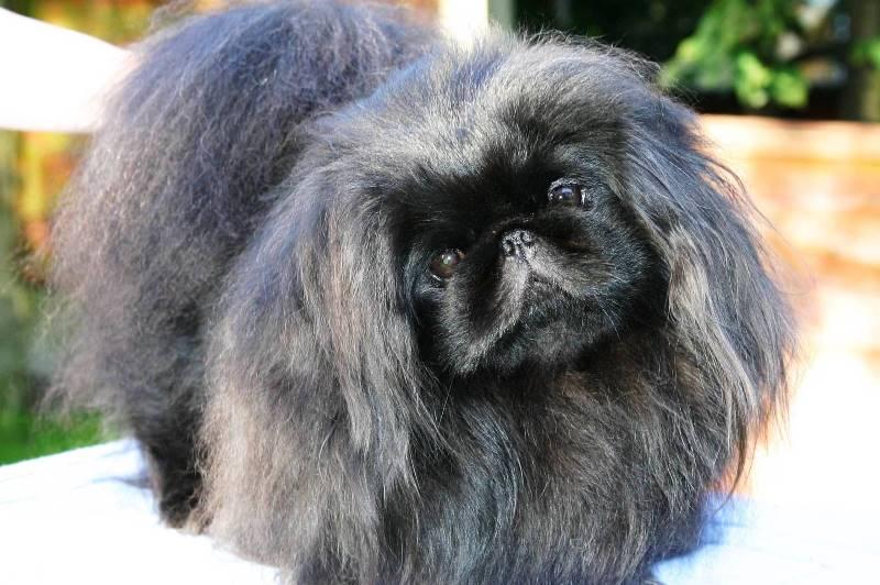 Как выглядит собака пекинес фото