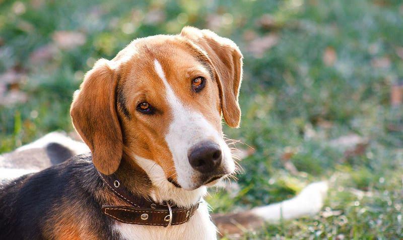 Собака русская пегая гончая : фото, видео, описание породы и характер