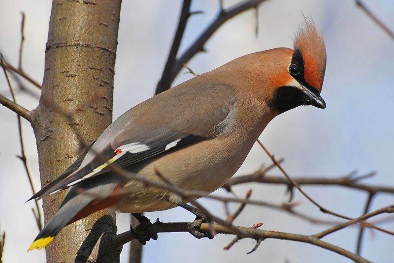 птицы фото свиристели