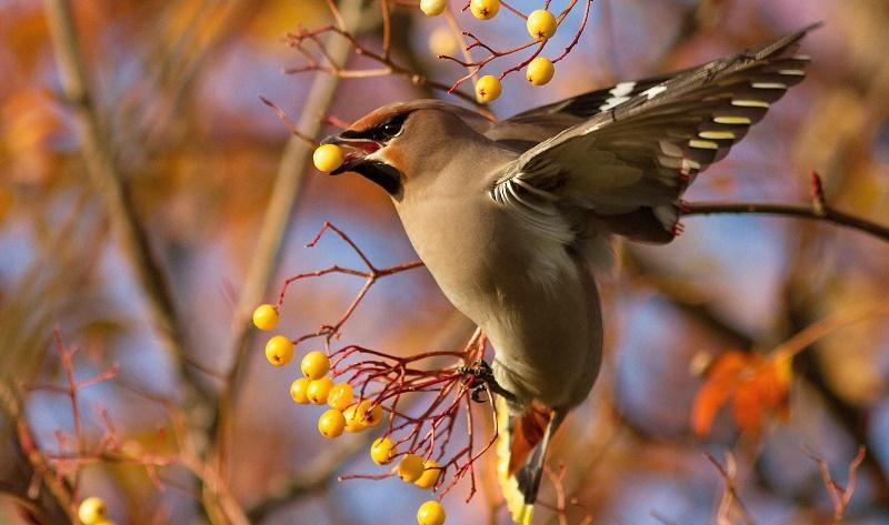 Птица с хохолком на голове : черно-белая, красная или водоплавающая