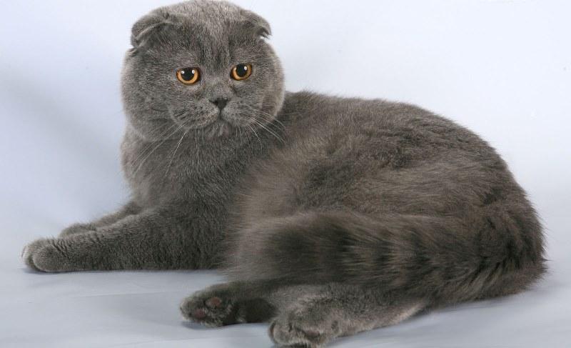 шотландский вислоухий кот фото