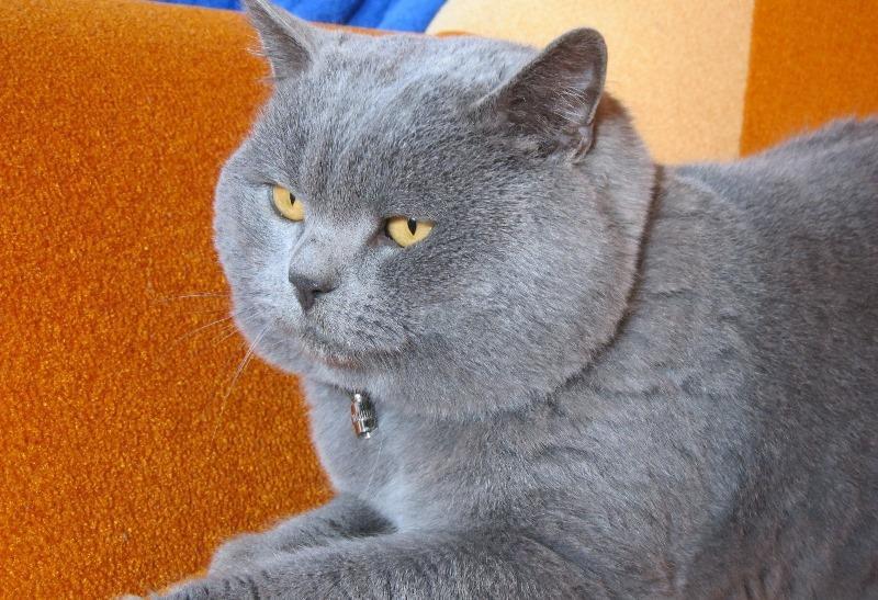 все о шотландских прямоухих котах домов